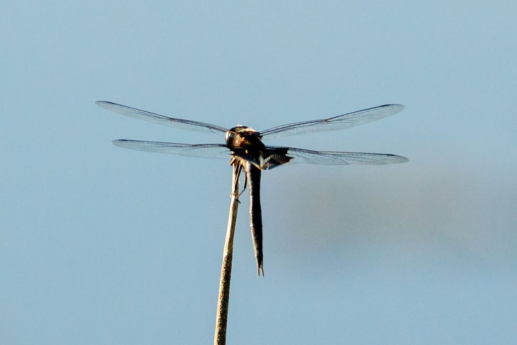 Photo by Rick Pepper - A dragon fly on Eagle Lake