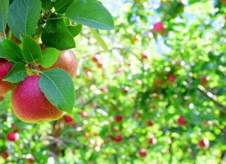 Apple Harvest - Mankato, MN