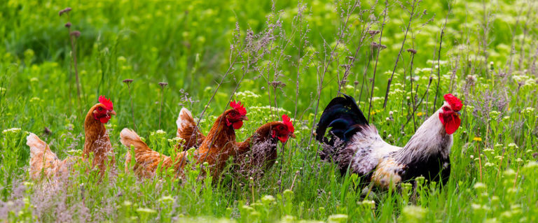 The Local Stir – Living with Backyard Chickens